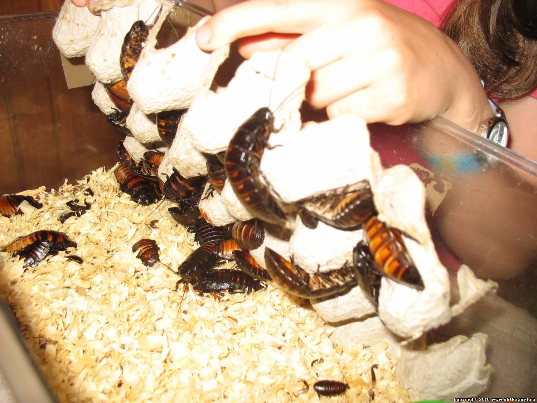 Ловушки для тараканов своими 37