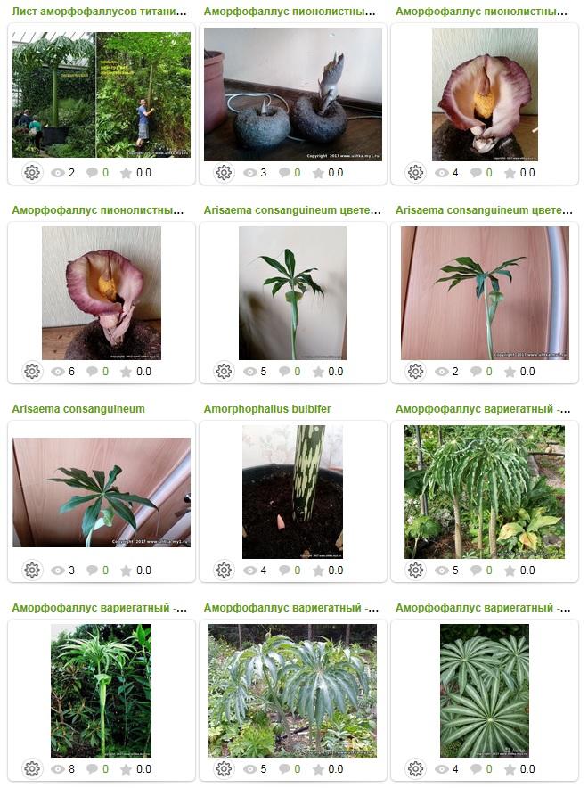 Продается Amorphophallus titanum